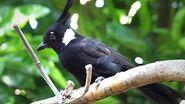 Javan Crested Jay