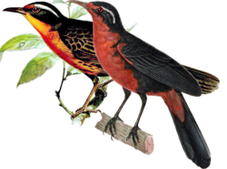 Rosy Thrush-Tanager.png