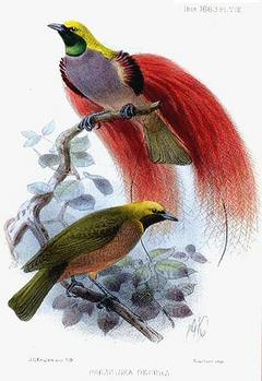 Goldies Bird-of-paradise.png