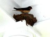 True swallow