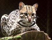 Ocelot (Leopardus pardalis)-8.png