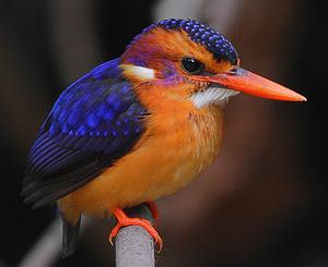 Flickr - Rainbirder - African pygmy-kingfisher (Ceyx pictus).png