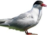 Commic terns