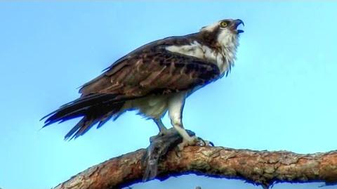 Osprey Calling - Loud and Long!