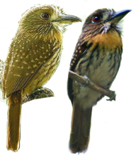 White-whiskered Puffbird.png
