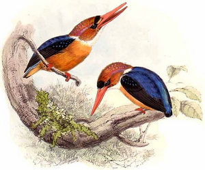 African Dwarf Kingfisher-Keulemans.png