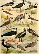 Charadriidae diversity art
