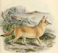 Pale fox.png