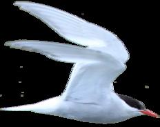 Antarctic Tern.png