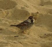 Spanish sparrow.jpg