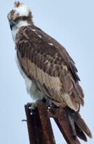 Fischadler Osprey
