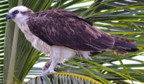 Pandion haliaetus ridgwayi-Belize -8