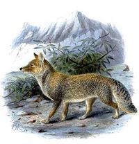 Tibetan sand fox.png