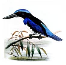 Blue-black Kingfisher.png