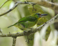 Red-throated Barbet.png