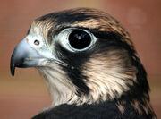 Bird of prey or hawk-like bird.