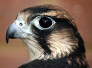Peregrine Falcon profile shot