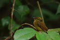 Flickr - Rainbirder - Northern Royal Flycatcher (Onychorhynchus mexicanus).jpg