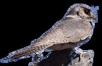 Australian Owlet-nightjar.png