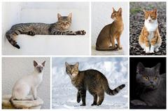 Domestic Cat Breeds.png