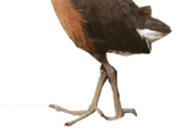 Rallidae