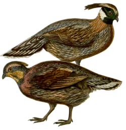 Koklass Pheasant.png