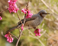 Brown-eared Bulbul.png