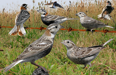 Chestnut-collared Longspur.png