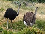 Ostrich (family)