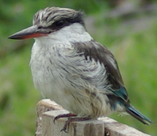 Striped Kingfisher.png