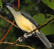 Grey-necked Rockfowl.png