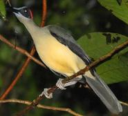 Grey-necked Rockfowl