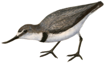 Wrybill.png