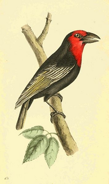 Black-billed Barbet.png