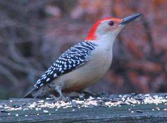 Red-bellied woodpecker on railing.JPG