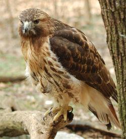 Red-tailed Hawk Buteo jamaicensis Full Body 1880px.jpg