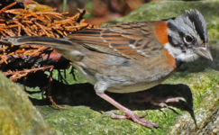 Rufous-collared Sparrow1.png