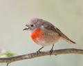 Female Scarlet Robin.png