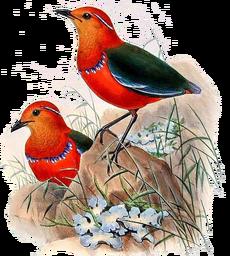 BirdsAsiaJohnGoVGoul 0284.png