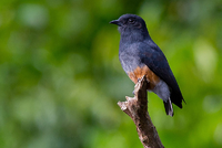 Swallow-winged Puffbird.png