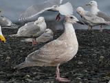 Large white-headed gull