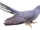 Common Cuckoo.png