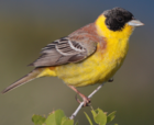 28-090504-black-headed-bunting-at-first-layby.png