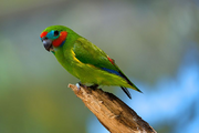 Cyclopsitta diophthalma -Birdworld Kuranda, Queensland, Australia -male-8a.png