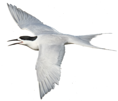 White-fronted Tern.png
