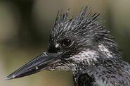 Flickr - Rainbirder - Giant Kingfisher (Megaceryle maxima) headshot