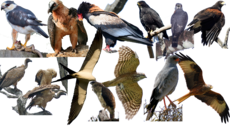Accipitridae diversity.png