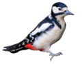 Great Spotted Woodpecker.png