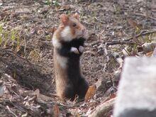 European Hamster.jpg