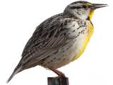 Lilian's Meadowlark